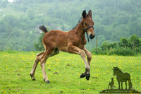 Cleveland Bay Foal